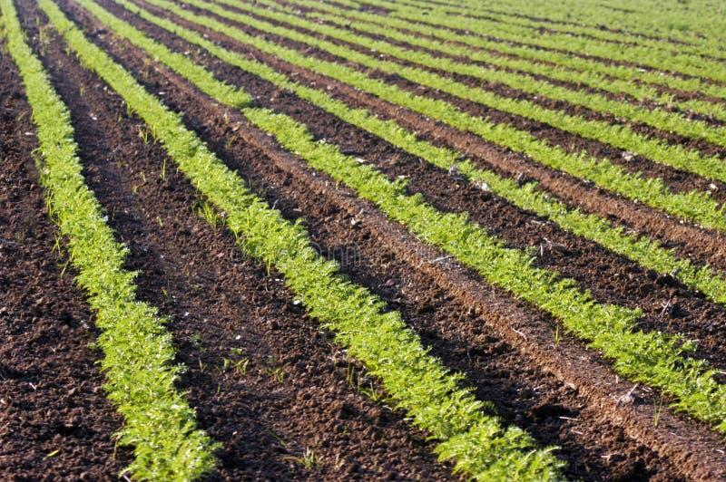 Πράσινες συγκομιδές σε ένα πεδίο στοκ φωτογραφία