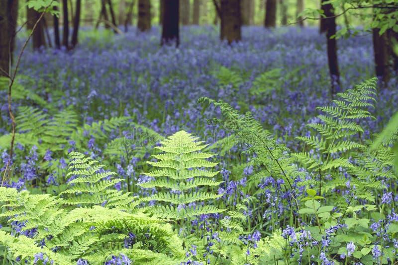 Πράσινες φτέρες και bluebells στη δασώδη περιοχή άνοιξης στοκ φωτογραφίες με δικαίωμα ελεύθερης χρήσης