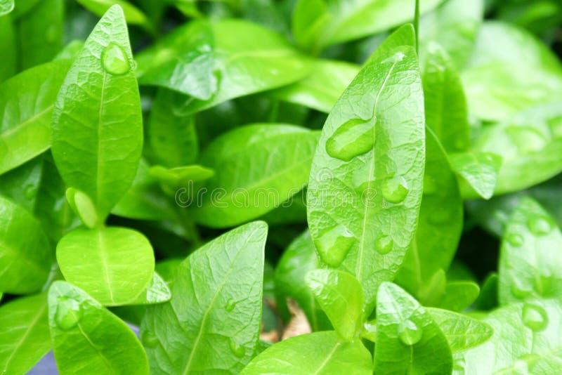 Πράσινες φύλλα και σταγόνες βροχής στοκ εικόνα