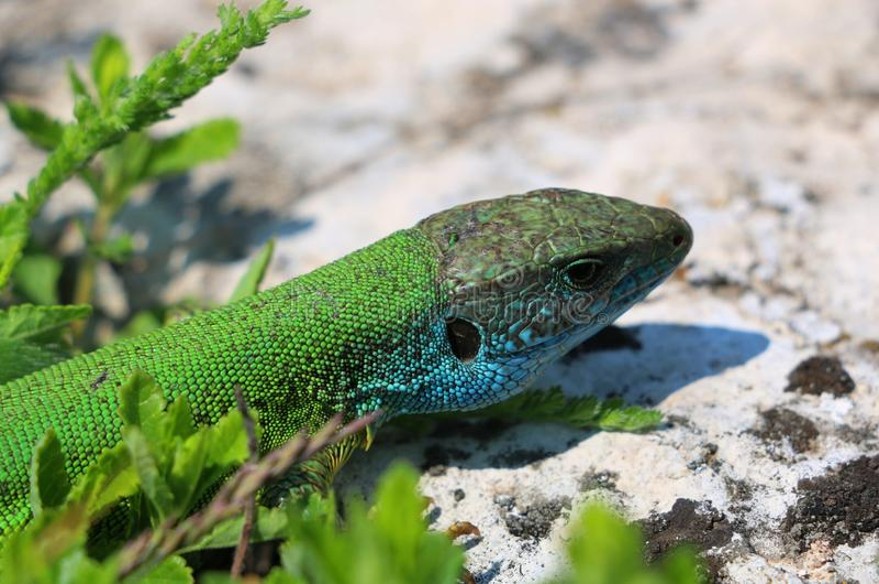 Πράσινη άγρια σαύρα στοκ εικόνες