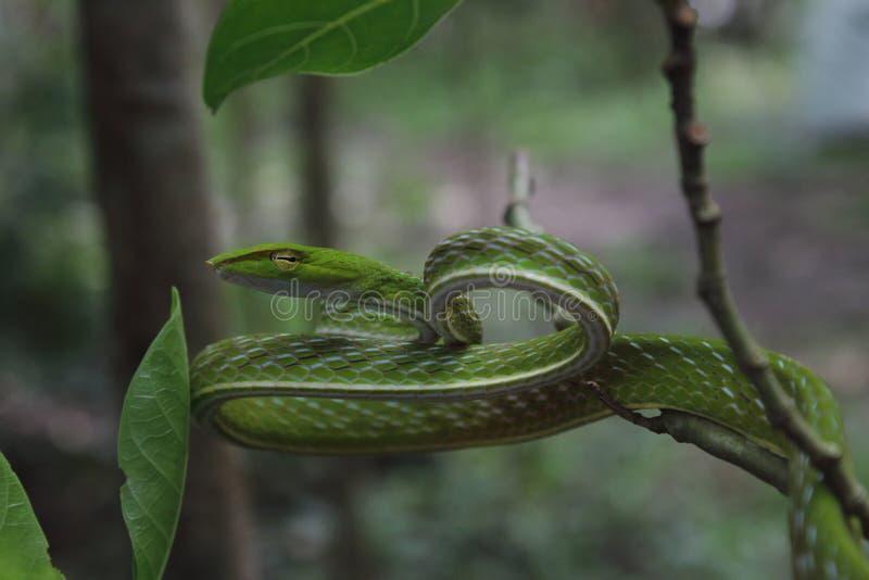 πράσινη άμπελος φιδιών στοκ φωτογραφία με δικαίωμα ελεύθερης χρήσης