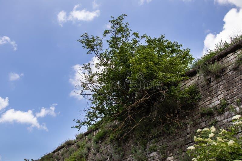 Πράσινη ανάπτυξη θάμνων στον παλαιό τοίχο πετρών στοκ εικόνες