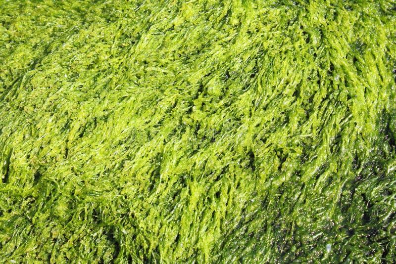 Πράσινη ανασκόπηση φυκιών στοκ εικόνες με δικαίωμα ελεύθερης χρήσης