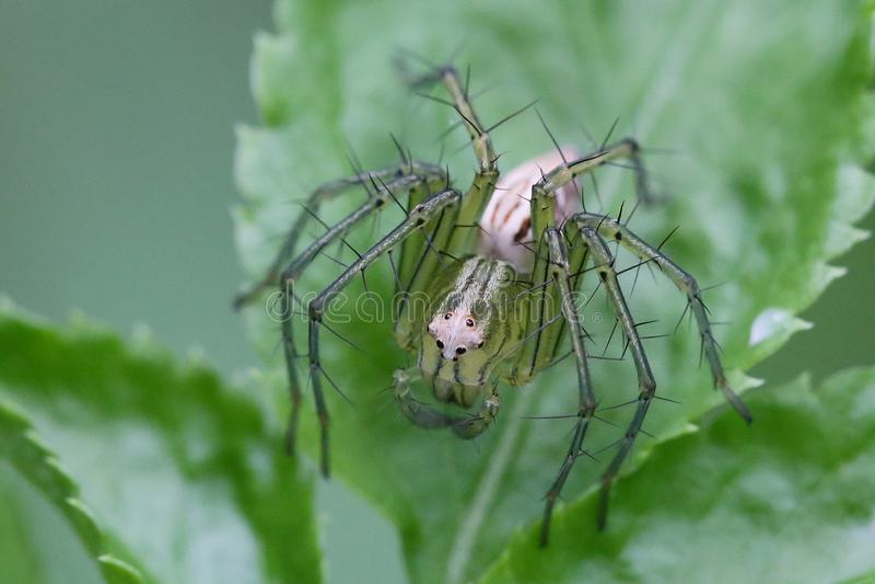 Πράσινη αράχνη στοκ εικόνες