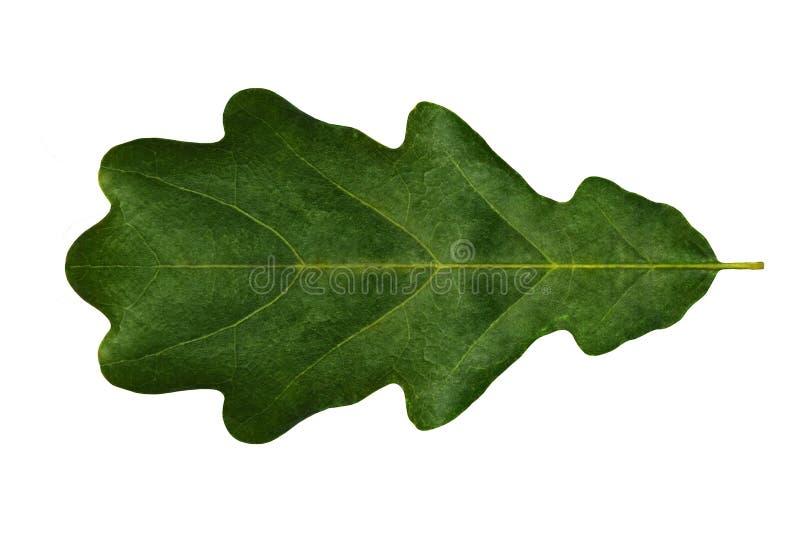 Πράσινη βαλανιδιά φύλλων (συμμετρική) σε ένα άσπρο υπόβαθρο που απομονώνεται στοκ εικόνα