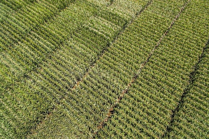 Πράσινη διαγώνιος λεπτομέρειας τομέων καλαμποκιού επάνω από την άποψη στοκ φωτογραφία με δικαίωμα ελεύθερης χρήσης