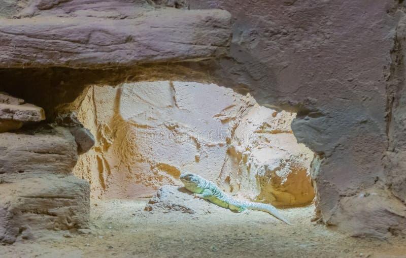 Πράσινη διαστιγμένη συνεδρίαση σαυρών iguana σε έναν βράχο στο περιβάλλον ερήμων βουνών σπηλιών του στοκ φωτογραφία με δικαίωμα ελεύθερης χρήσης