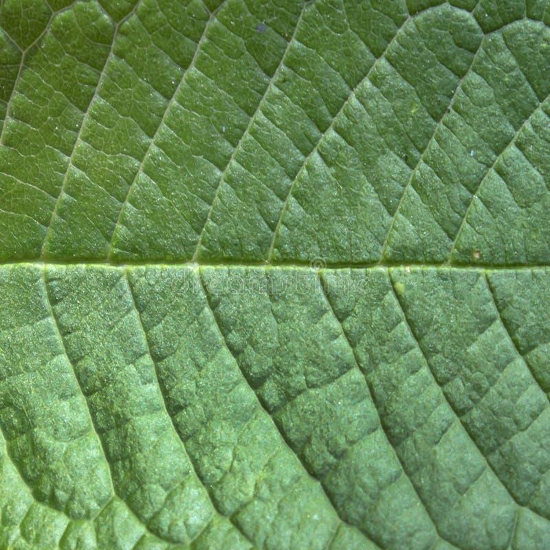 Πράσινη δομή φύλλων με την κινηματογράφηση σε πρώτο πλάνο ραβδώσεων, φυσικό σχέδιο στοκ φωτογραφίες με δικαίωμα ελεύθερης χρήσης