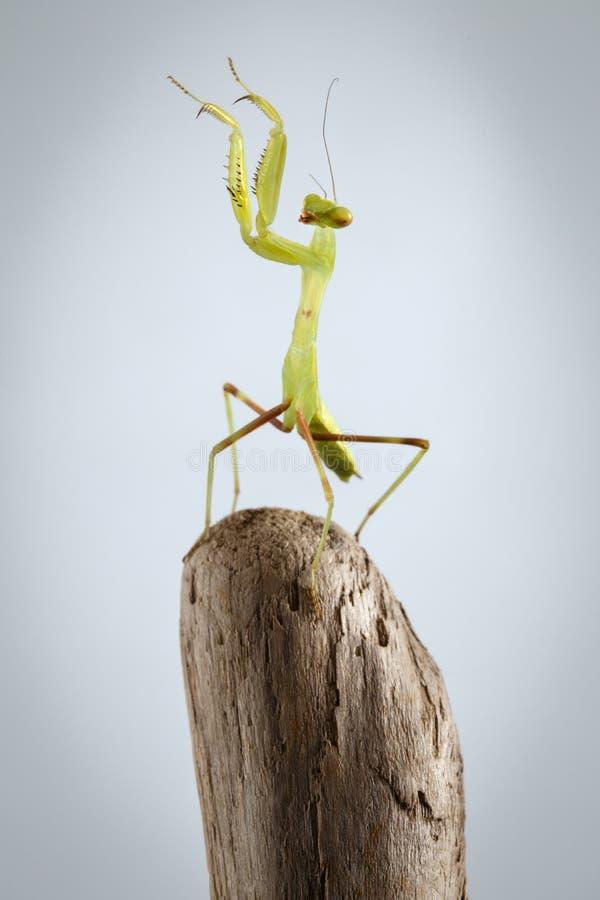 Πράσινη επίκληση Mantis κινηματογραφήσεων σε πρώτο πλάνο στο ραβδί στοκ φωτογραφίες με δικαίωμα ελεύθερης χρήσης