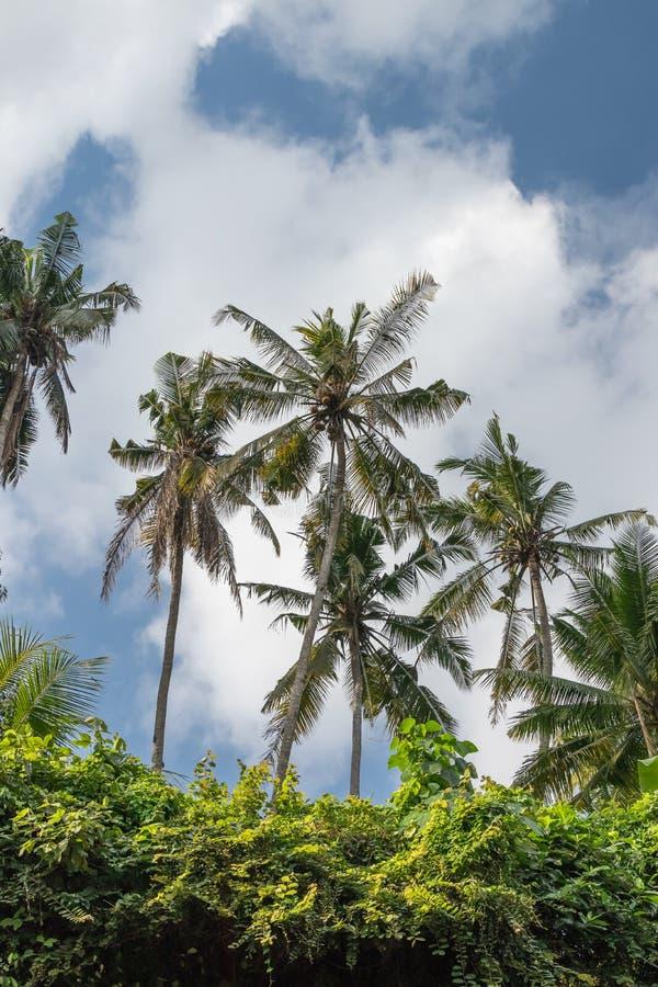 Πράσινη ζούγκλα στο νησί του Μπαλί, Ινδονησία Τροπική σκηνή τροπικών δασών στοκ εικόνες