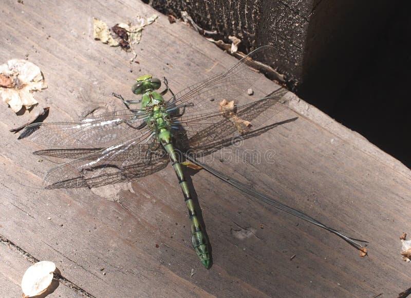 Πράσινη λιβελλούλη στοκ φωτογραφία με δικαίωμα ελεύθερης χρήσης