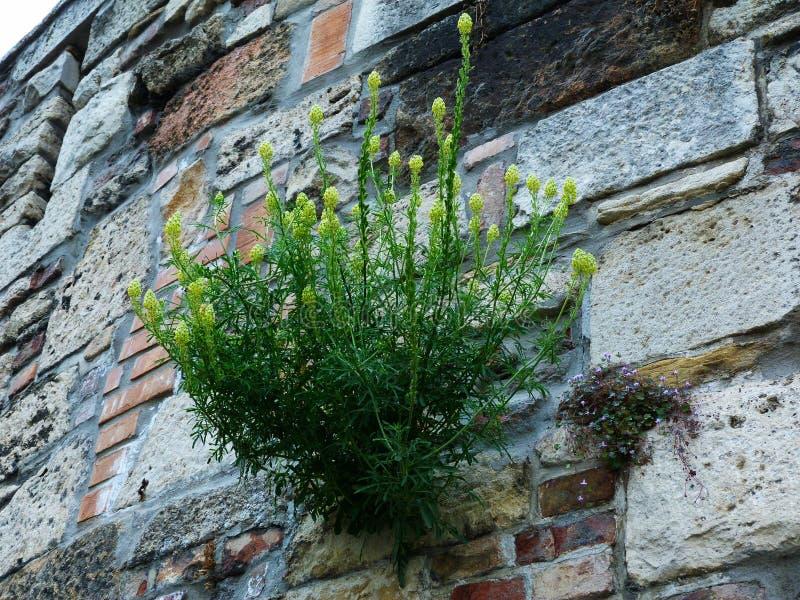 Πράσινη και κίτρινη άγρια ανάπτυξη λουλουδιών από τις ρωγμές του τοίχου φρουρίων πετρών στοκ φωτογραφία με δικαίωμα ελεύθερης χρήσης