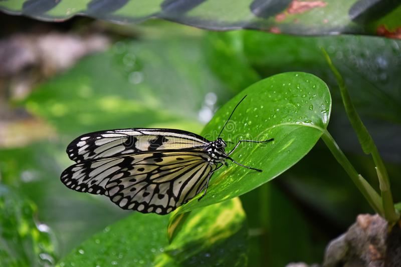 Πράσινη και καφετιά τροπική πεταλούδα στο φύλλο στοκ εικόνα