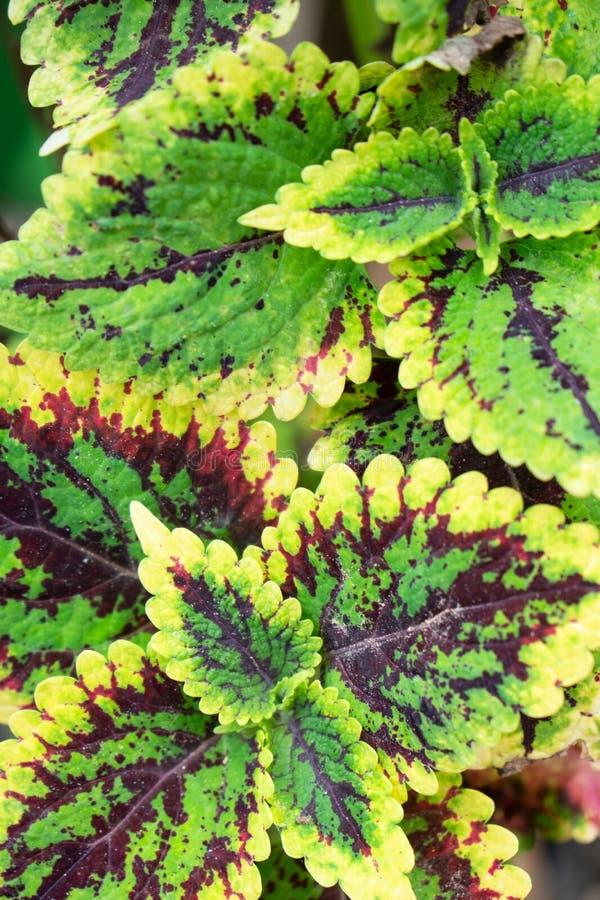 Πράσινη και κόκκινη φύση φύλλων κινηματογραφήσεων σε πρώτο πλάνο για το υπόβαθρο Δημιουργικός φιαγμένος από πράσινα και κόκκινα φ στοκ φωτογραφία με δικαίωμα ελεύθερης χρήσης