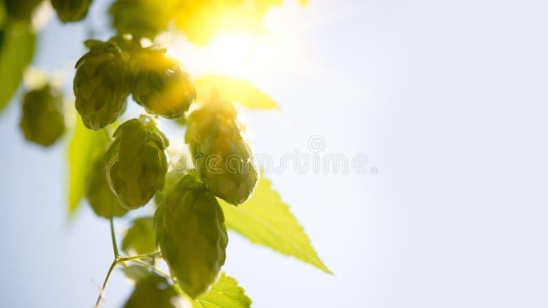 Πράσινη κινηματογράφηση σε πρώτο πλάνο κώνων λυκίσκου στο φωτεινό υπόβαθρο ήλιων και ουρανού στοκ εικόνες