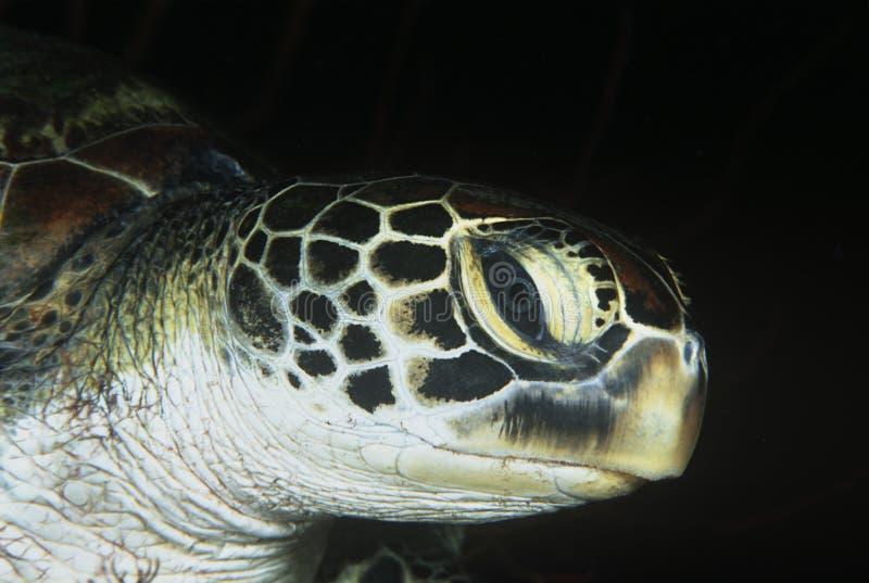 Πράσινη κινηματογράφηση σε πρώτο πλάνο χελωνών του κεφαλιού στοκ εικόνες