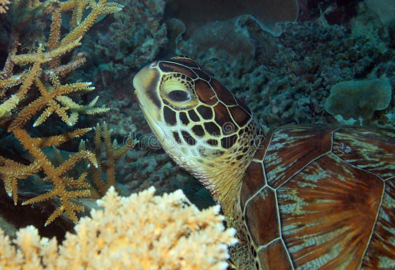 Πράσινη κινηματογράφηση σε πρώτο πλάνο χελωνών στοκ εικόνα με δικαίωμα ελεύθερης χρήσης