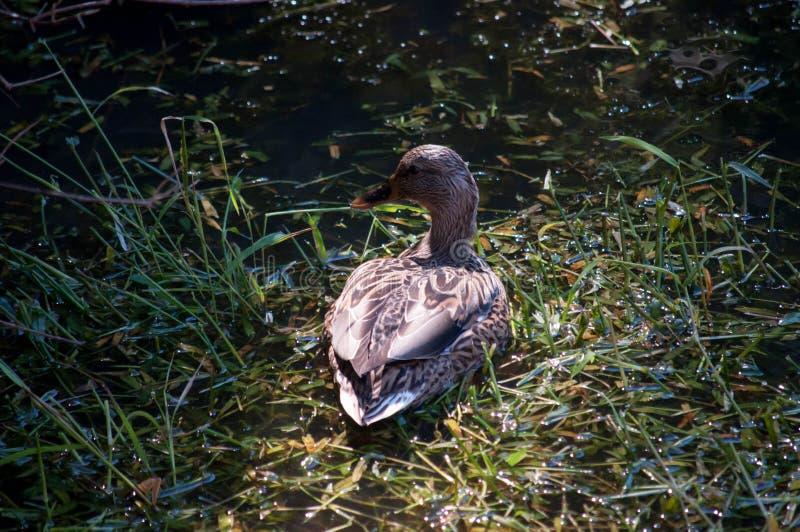 Πράσινη λίμνη χλόης παπιών πρασινολαιμών στοκ φωτογραφία με δικαίωμα ελεύθερης χρήσης