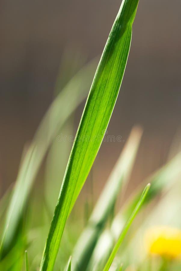 Πράσινη λεπίδα χλόης στοκ φωτογραφία