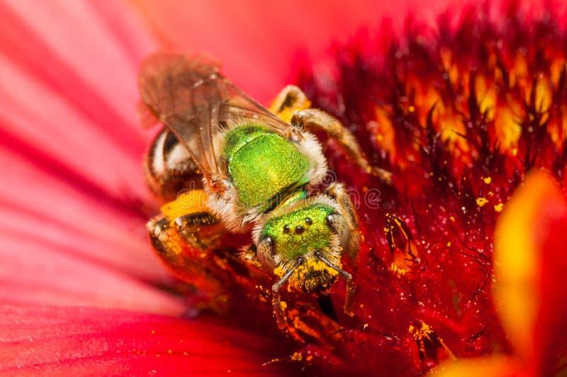 Πράσινη μέλισσα σε ένα κόκκινο λουλούδι στοκ εικόνες με δικαίωμα ελεύθερης χρήσης