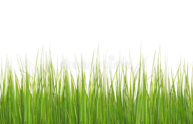 Πράσινη μακριά χλόη που απομονώνεται στο λευκό στοκ φωτογραφία με δικαίωμα ελεύθερης χρήσης