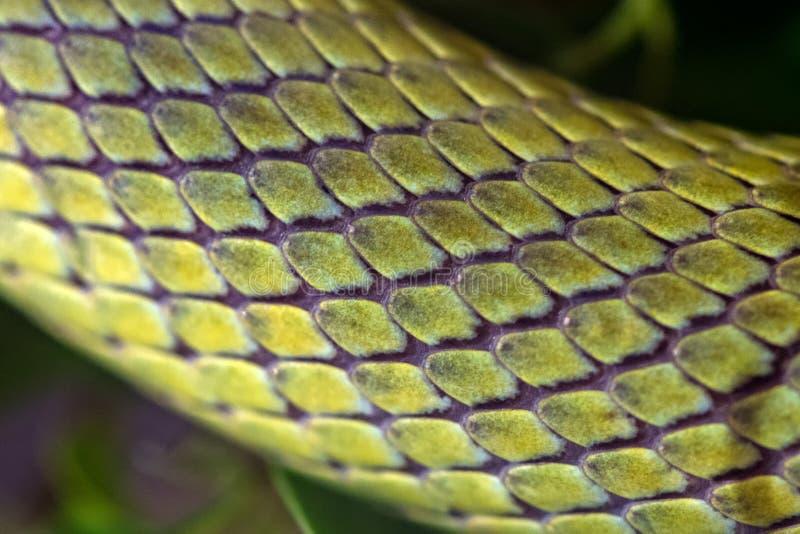 Πράσινη μακροεντολή δρομέων βαρώνων φιδιών στοκ φωτογραφία με δικαίωμα ελεύθερης χρήσης