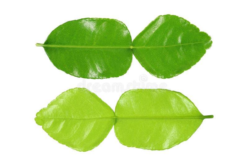 πράσινη μπροστινή και πίσω πλευρά φύλλων ασβέστη kaffir που απομονώνεται στο λευκό στοκ φωτογραφίες
