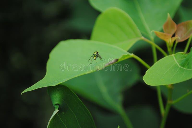 Πράσινη μύγα σε ένα φύλλο στοκ φωτογραφία