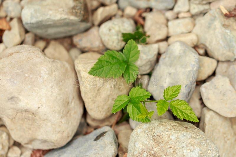 πράσινη νέα αύξηση της πιό berrier ανάπτυξης από το αμμοχάλικο στοκ εικόνες με δικαίωμα ελεύθερης χρήσης