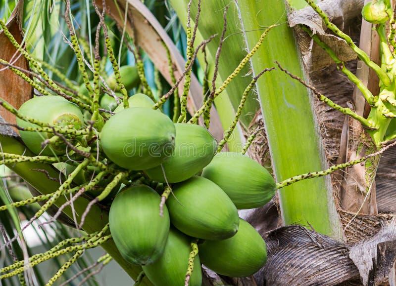 Πράσινη νέα ομάδα φοινίκων καρύδων εξωτικών φρούτων εγκαταστάσεων υποβάθρου κινηματογραφήσεων σε πρώτο πλάνο καρυδιών στοκ εικόνες