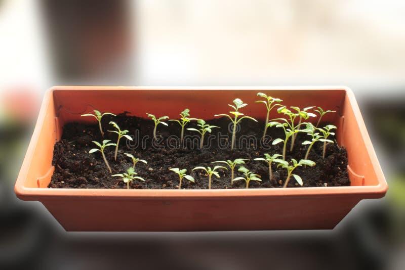 πράσινη ντομάτα νεαρών βλαστών σποροφύτων στοκ εικόνες