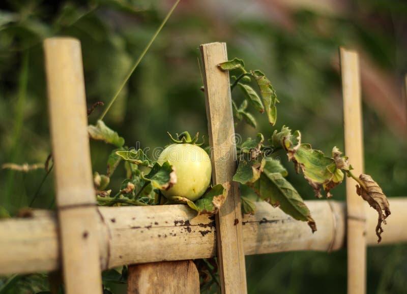 Πράσινη ντομάτα στοκ εικόνες