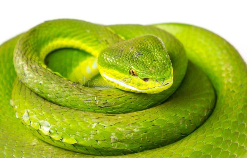 πράσινη οχιά κοιλωμάτων στοκ φωτογραφία με δικαίωμα ελεύθερης χρήσης