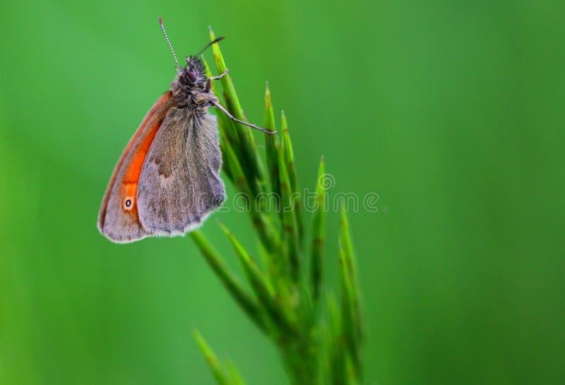 Πράσινη πεταλούδα στοκ εικόνες με δικαίωμα ελεύθερης χρήσης