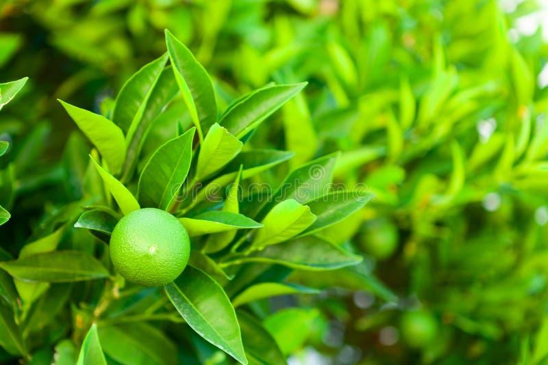 Πράσινη πορτοκαλιά ωρίμανση φρούτων δέντρων στον κλάδο του - Κροατία, νησί Brac στοκ φωτογραφία με δικαίωμα ελεύθερης χρήσης