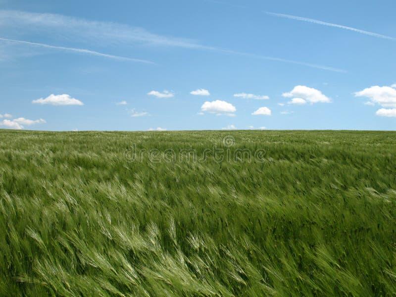 πράσινη σίκαλη πεδίων στοκ εικόνες με δικαίωμα ελεύθερης χρήσης