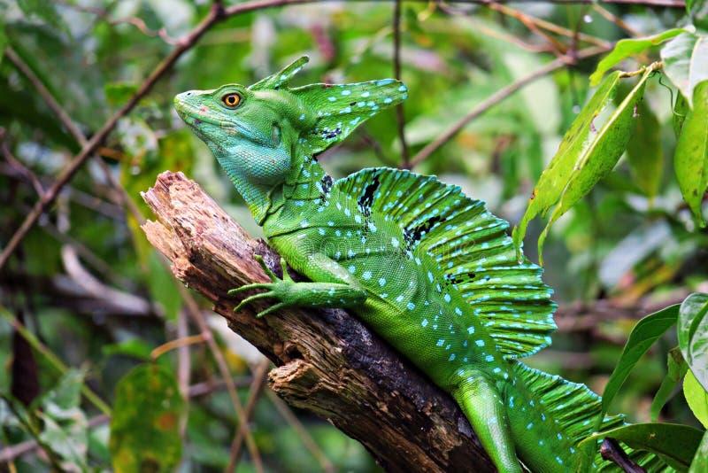Πράσινη σαύρα βασιλίσκων, άγρια φύση της Κόστα Ρίκα στοκ εικόνα