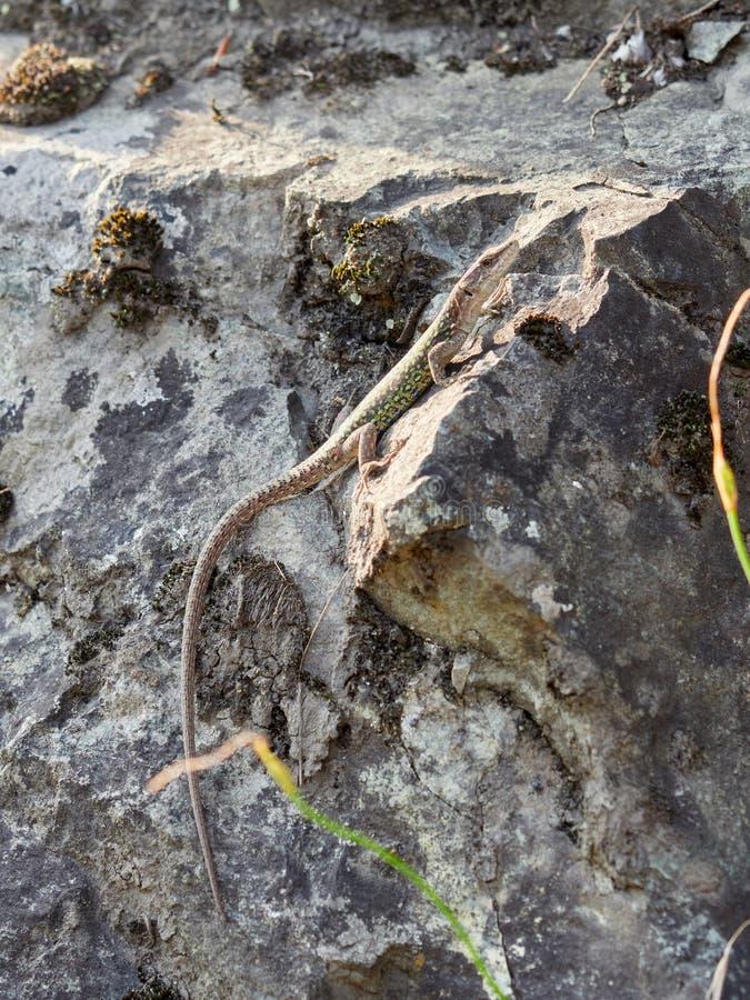 Πράσινη σαύρα που σέρνεται σε έναν απότομο βράχο πετρών στοκ φωτογραφία με δικαίωμα ελεύθερης χρήσης