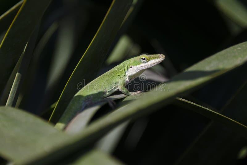 Πράσινη σαύρα χαμαιλεόντων Anole στοκ φωτογραφία με δικαίωμα ελεύθερης χρήσης