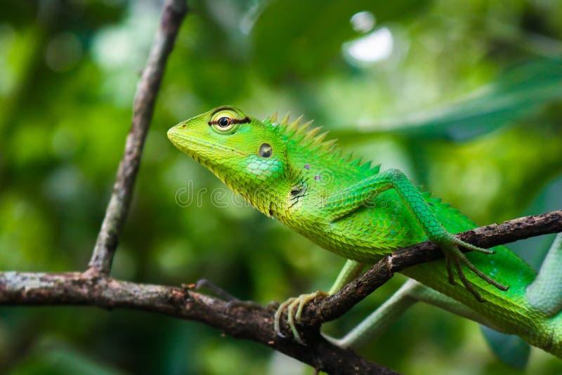 Πράσινη σαύρα χρώματος που εγκαθιστά σε έναν κλάδο δέντρων στοκ εικόνες με δικαίωμα ελεύθερης χρήσης