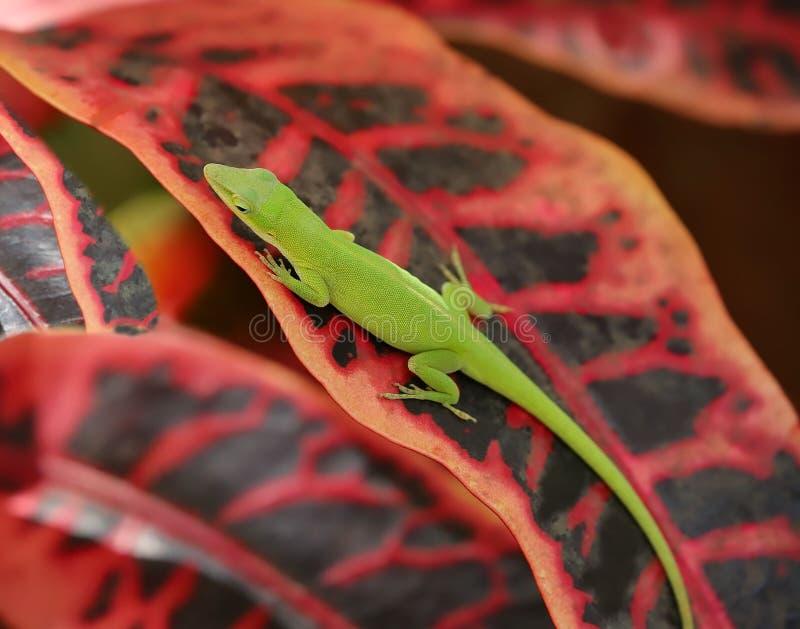 Πράσινη συνεδρίαση σαυρών σε ένα κόκκινο φύλλο croton στοκ εικόνα