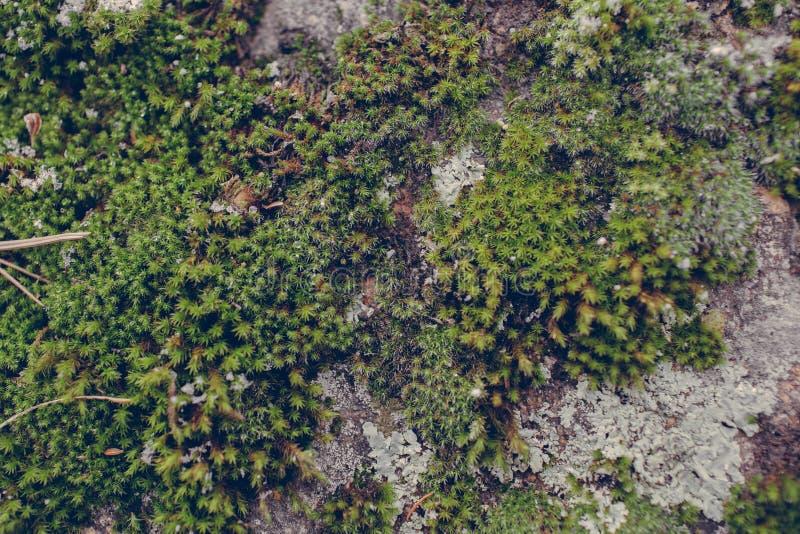Πράσινη σύσταση βρύου στο υπόβαθρο πετρών Κλείστε επάνω την άποψη της mossy σύστασης και του υποβάθρου στην άγρια φύση στοκ εικόνα με δικαίωμα ελεύθερης χρήσης