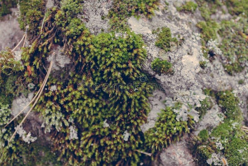 Πράσινη σύσταση βρύου στο υπόβαθρο πετρών Κλείστε επάνω την άποψη της mossy σύστασης και του υποβάθρου στην άγρια φύση στοκ φωτογραφίες με δικαίωμα ελεύθερης χρήσης