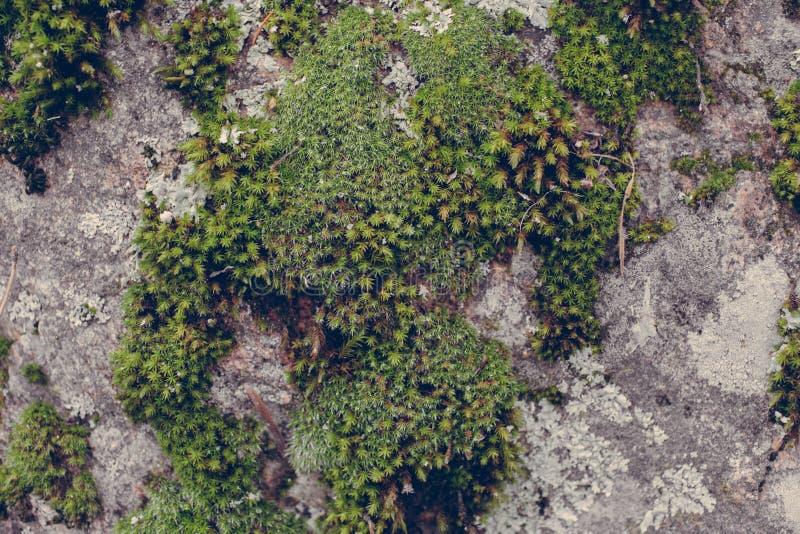 Πράσινη σύσταση βρύου στο υπόβαθρο πετρών Κλείστε επάνω την άποψη της mossy σύστασης και του υποβάθρου στην άγρια φύση στοκ εικόνα