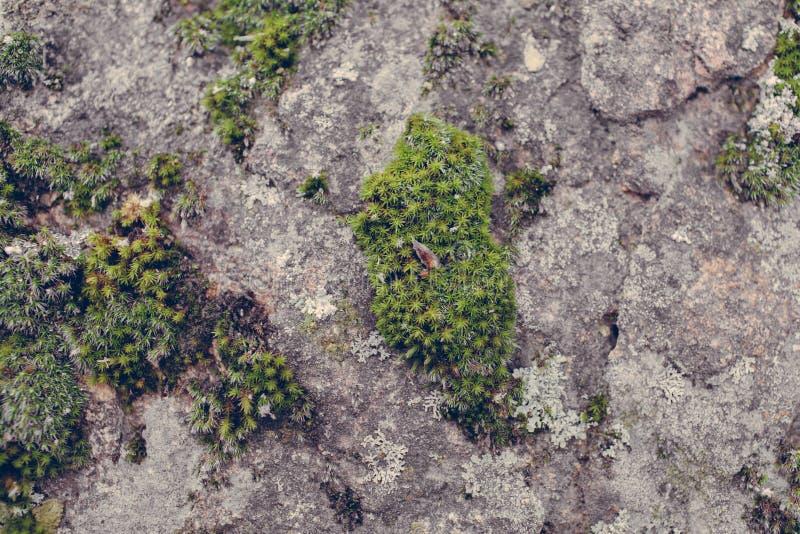 Πράσινη σύσταση βρύου στο υπόβαθρο πετρών Κλείστε επάνω την άποψη της mossy σύστασης και του υποβάθρου στην άγρια φύση στοκ φωτογραφίες