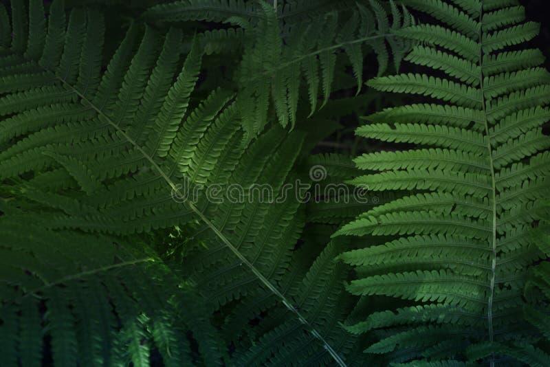 Πράσινη σύσταση φτερών φύλλων Όμορφο φτερών φύλλων πράσινο υπόβαθρο φτερών φυλλώματος φυσικό floral στοκ εικόνες