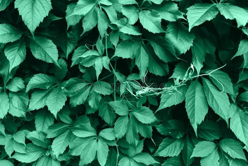 Πράσινη σύσταση φύλλων Υπόβαθρο σύστασης φύλλων στοκ εικόνα