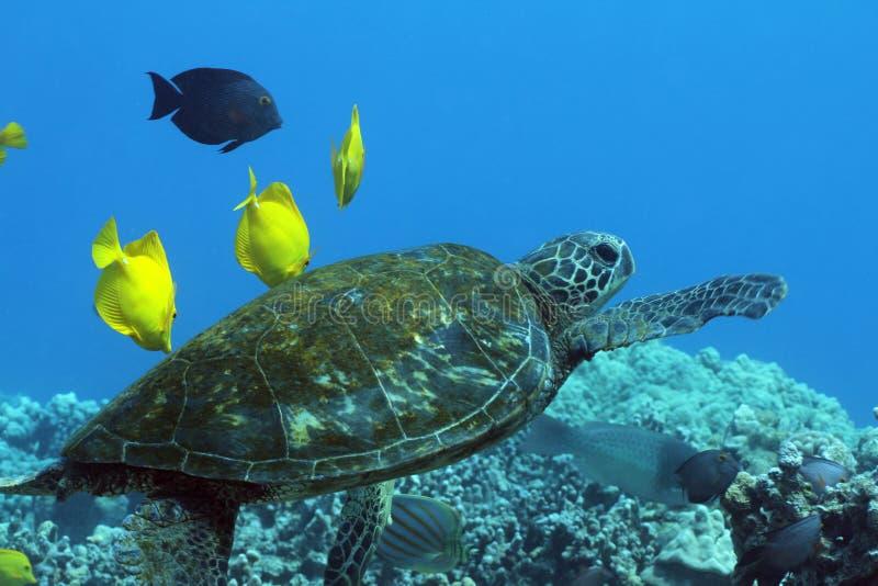 πράσινη της Χαβάης χελώνα θά&l στοκ εικόνες