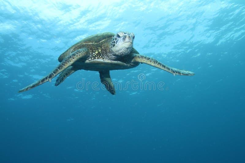 πράσινη της Χαβάης χελώνα θά&l στοκ φωτογραφίες με δικαίωμα ελεύθερης χρήσης