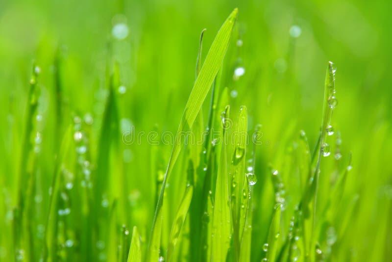 Πράσινη υγρή χλόη με τη δροσιά λεπίδες στοκ εικόνες